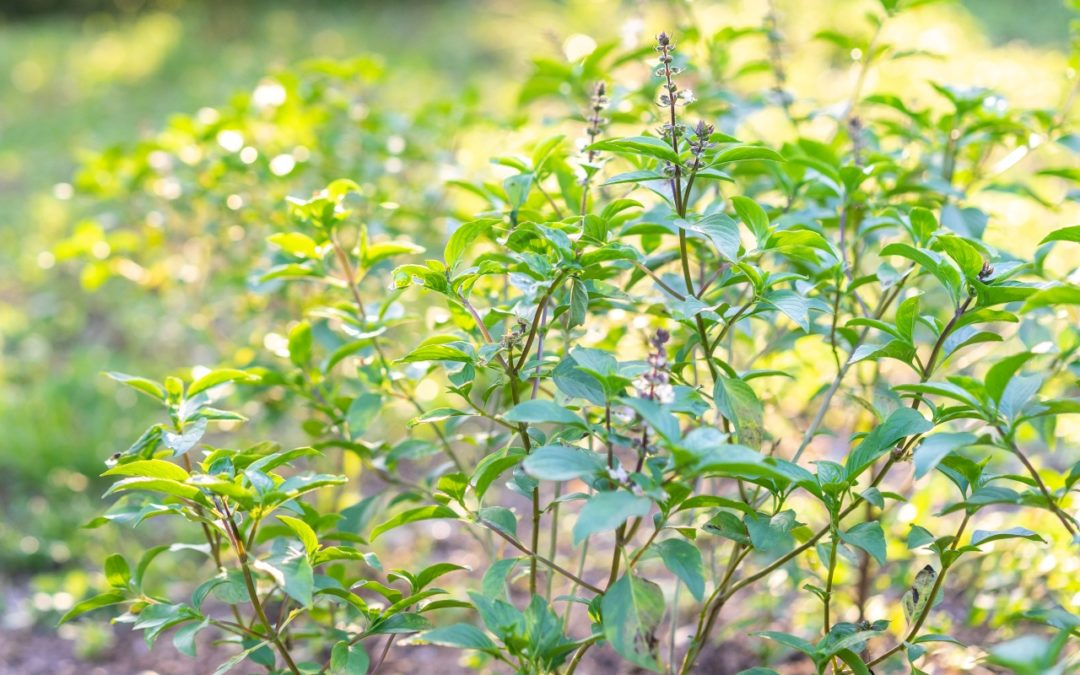 How to remain positive. Lessons from the Tulsi Plant
